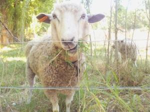 Convent Gardens Sheep